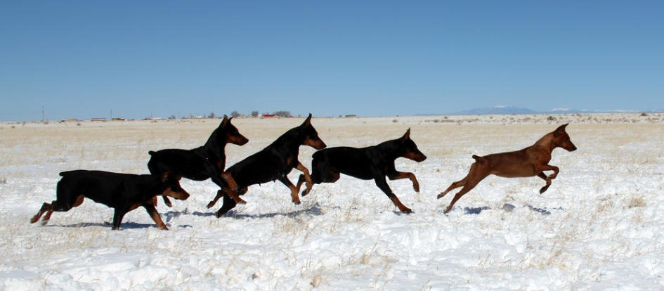 Daveren German Pinschers running in snow
