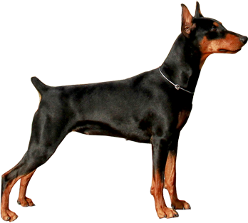 German Pinscher Breed Traits