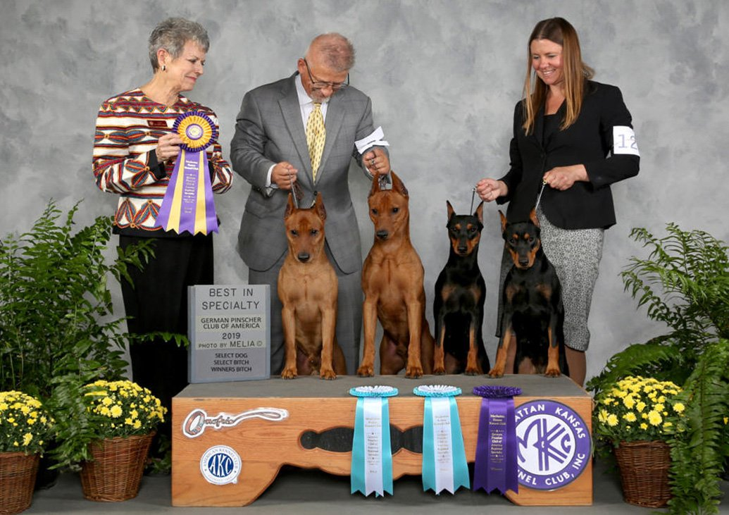 Four of my home bred DAVEREN German Pinschers winning big at the German Pinscher Club of America Regional Specialty the day before our National in 2019