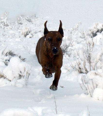 Brown Daveren German Pinscher running in snow