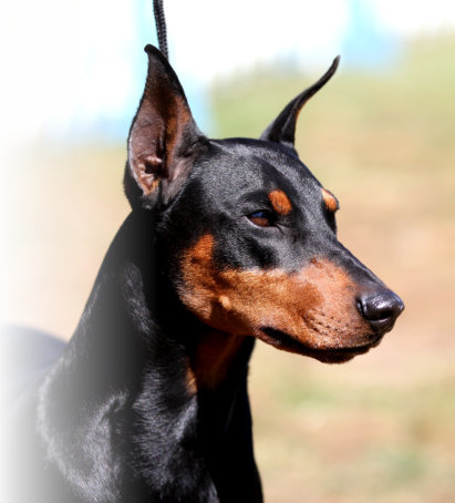 Black Daveren German Pinscher