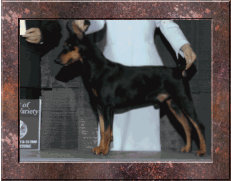 GRAND CHAMPION Oakwood V Kaitlers Tribute RA CAA CGC (Our Foundation) German Pinscher Club of America 'Hall of Fame Producer'