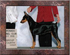 GRAND CHAMPION Angelsun Reisenable Dream HOF (Our Foundation) German Pinscher Club of America 'Hall of Fame Producer'