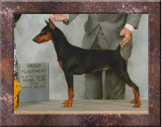 BRONZE GRAND CHAMPION Daveren's Tribute to an Amazing Dream German Pinscher Club of America